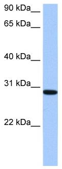 Western blot - RALYL antibody (ab105866)