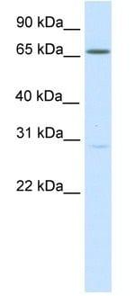 Western blot - NFAT5 antibody (ab105886)