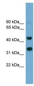 Western blot - FOXI2 antibody (ab105964)