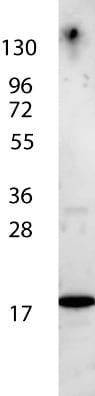 Western blot - Anti-IL7 antibody (HRP) (ab106025)