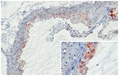 Immunohistochemistry (Frozen sections) - Mannan Binding Lectin antibody [14D12] (ab106046)