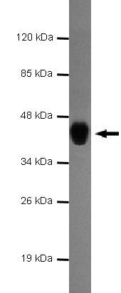 Western blot - Gata6 antibody [none] (ab106066)