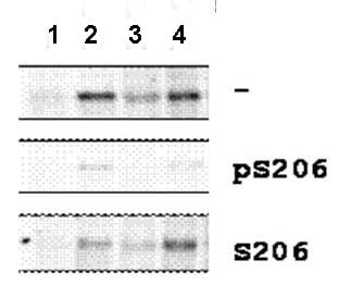Western blot - Anti-Smad1 (phospho S206) antibody (ab106093)