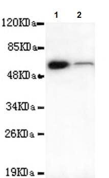 Western blot - Anti-TBL1Y antibody [4H2-D5-E9] (ab106150)