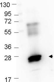 Western blot - Anti-GST antibody (Texas Red ®) (ab106222)