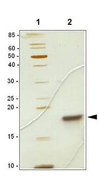 SDS-PAGE - SCF protein (ab106309)