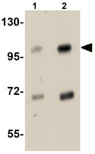 Western blot - SLFN14 antibody (ab106406)