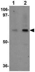 Western blot - Anti-UBQLN4 antibody (ab106443)
