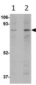 Western blot - MAK10 antibody (ab106444)