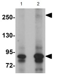 Western blot - JMJD1C antibody (ab106457)