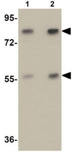 Western blot - Apc4 antibody (ab106486)
