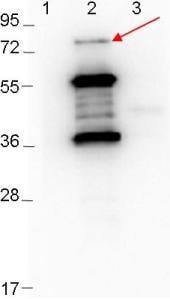 Western blot - Anti-ErpD antibody (ab106538)