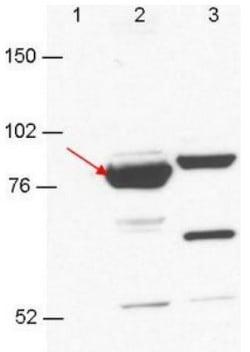 Western blot - Anti-RBM35A + RBM35B antibody [23A7.C9] (ab106555)