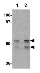 Western blot - KLF4 antibody (ab106629)