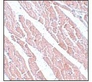 Immunohistochemistry (Formalin/PFA-fixed paraffin-embedded sections) - TMEM184C antibody (ab106719)