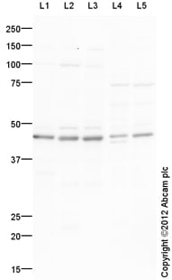 Western blot - Anti-BSCL2 antibody (ab106793)