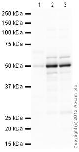 Western blot - Anti-DAZAP1 antibody (ab106851)