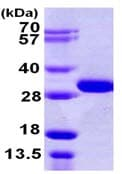SDS-PAGE - OTUB2 protein (His tag) (ab106896)