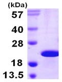 SDS-PAGE - CIRBP protein (His tag) (ab106903)