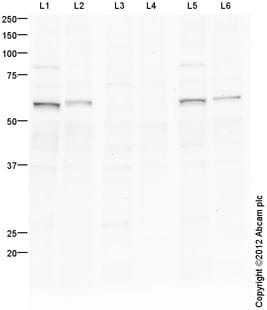 Western blot - Anti-c-Myc (phospho S62) antibody (ab106952)