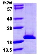 SDS-PAGE - NME4 protein (ab107133)