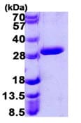 SDS-PAGE - UROS protein (ab107136)