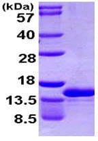SDS-PAGE - CCL4L1 protein (ab107149)