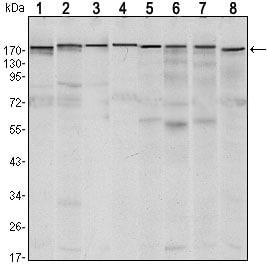 Western blot - KMT1E / SETDB1 antibody [5H6A12] (ab107225)
