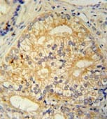 Immunohistochemistry (Formalin/PFA-fixed paraffin-embedded sections) - C16orf13 antibody (ab107610)