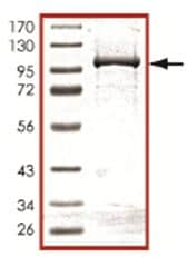 SDS-PAGE - PDE12 protein (ab107695)