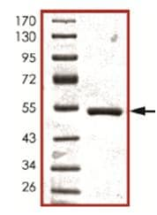 SDS-PAGE - SRMS protein (ab107697)