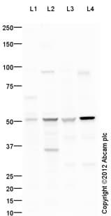 Western blot - Anti-AEBP2 antibody (ab107892)