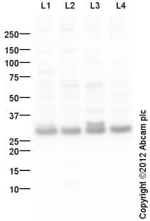Western blot - Anti-RYBP antibody (ab107896)