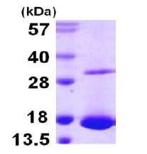 SDS-PAGE - Galectin 10 protein (Tagged-His Tag) (ab107951)