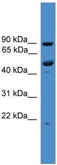 Western blot - C3orf59 antibody (ab108081)