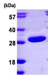 SDS-PAGE - PRTFDC1 protein (ab108126)