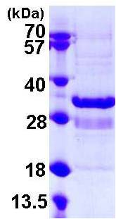 SDS-PAGE - Synaptotagmin 1 protein (ab108130)