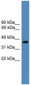 Western blot - BSND antibody (ab108150)