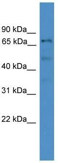 Western blot - DDX51 antibody (ab108179)