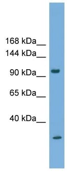 Western blot - Protocadherin 21 antibody (ab108234)