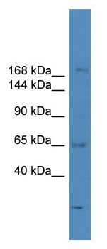 Western blot - SCAPER antibody (ab108264)
