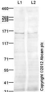 Western blot - Anti-KDM2B antibody (ab108276)