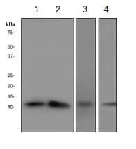 Western blot - CDKA1 / DOC1  antibody [Clone-R76] (ab108290)