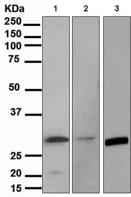 Western blot - Annexin IV antibody [EPR3922] (ab108303)