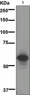 Western blot - CD147 antibody [EPR4053] (ab108308)