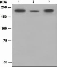 Western blot - Anti-CD45 antibody [EP350] (ab108314)