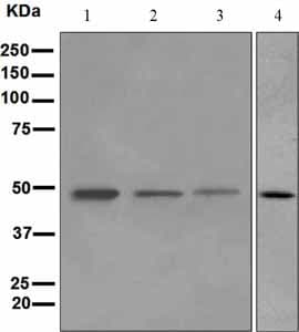 Western blot - ADFP antibody [EPR3713] (ab108323)