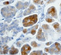 Immunohistochemistry (Formalin/PFA-fixed paraffin-embedded sections) - C Peptide antibody [EPR3075] (ab108326)