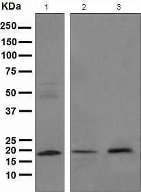 Western blot - ARF1 antibody [EPR443] (ab108347)