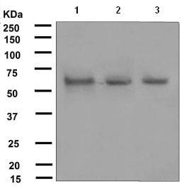 Western blot - Bora antibody [EPR4456] (ab108359)